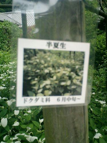 07)鎌倉市長谷「光則寺」名札を撮ったけど、肝心の'半夏生'本体を撮る