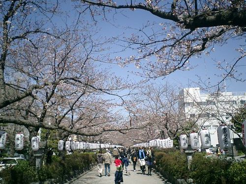 06) 「鶴岡八幡宮」'二の鳥居'&'段葛'の桜