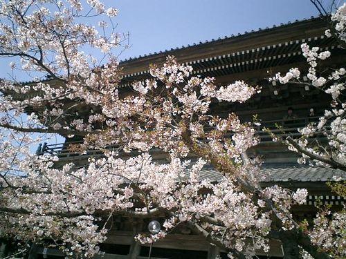 02)鎌倉市材木座「光明寺」山門前の桜