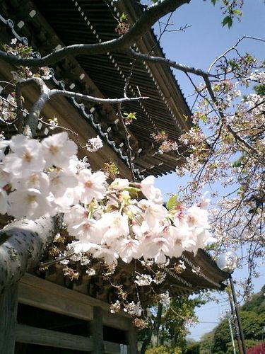 03)鎌倉市材木座「光明寺」山門前の桜