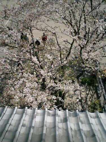 09)鎌倉市材木座「光明寺」山門の上から眼下の桜を見る