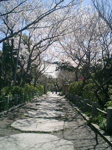 01)鎌倉市小町「宝戒寺」桜の季節。11:10am頃~