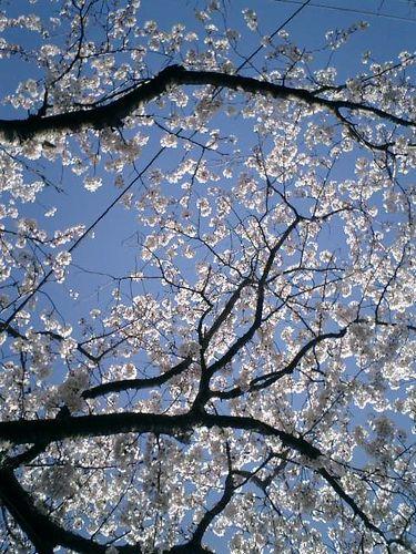 02)鎌倉市小町「宝戒寺」桜の季節