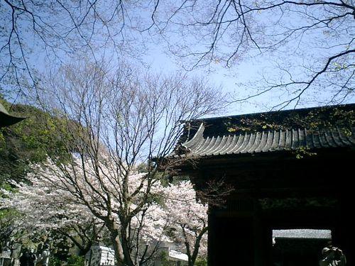 01)鎌倉市大町「妙本寺」桜の季節。10:45am頃~