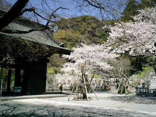 02)鎌倉市大町「妙本寺」桜の季節