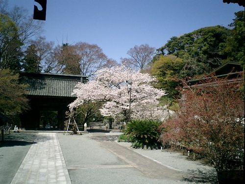 03)鎌倉市大町「妙本寺」桜の季節