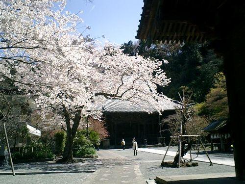 04)鎌倉市大町「妙本寺」桜の季節