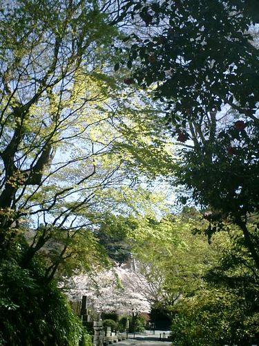 05)鎌倉市大町「妙本寺」桜の季節