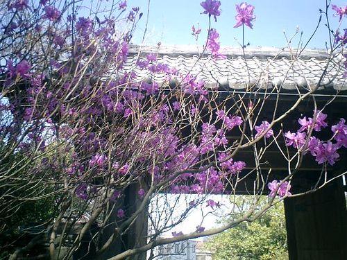 02)鎌倉市大町「安国論寺」桜の季節。もうツツジが咲いていた。