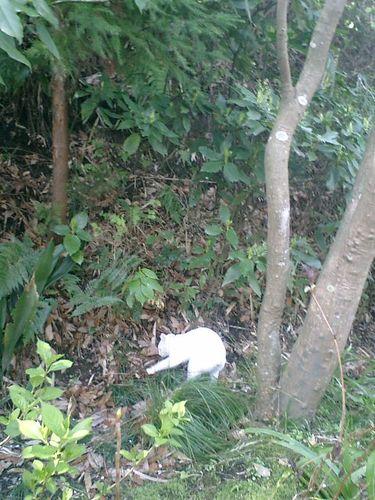 04)鎌倉市大町「安国論寺」桜の季節。飼い猫'コウタロウ'