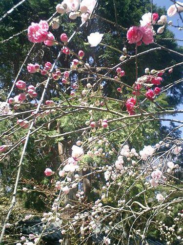 05)鎌倉市大町「安国論寺」桜の季節
