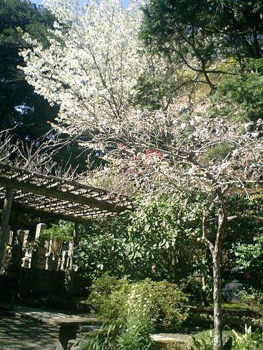 06)鎌倉市大町「安国論寺」桜の季節