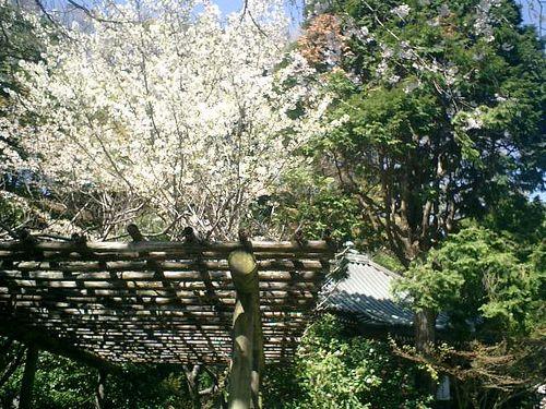 07)鎌倉市大町「安国論寺」桜の季節