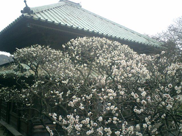 31) 鎌倉「英勝寺」_祠堂前の梅