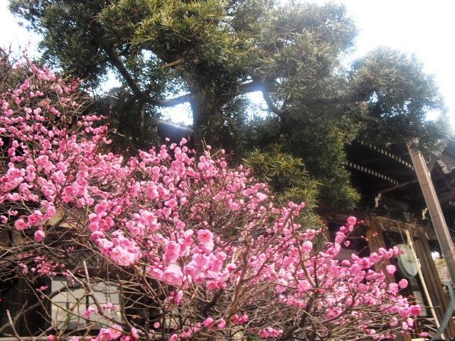 B03) 鎌倉「本覚寺」梅の頃