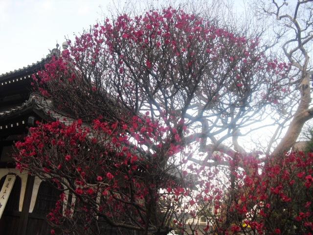 B04) 鎌倉「本覚寺」梅の頃