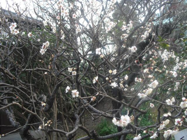 C05) 鎌倉「大巧寺」黄梅が咲く頃