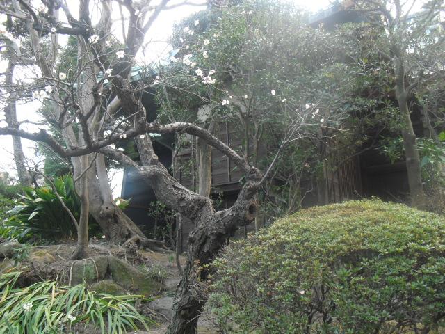 C06) 鎌倉「大巧寺」黄梅が咲く頃