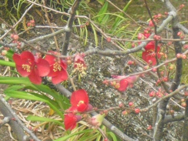 C10) 鎌倉「大巧寺」黄梅が咲く頃