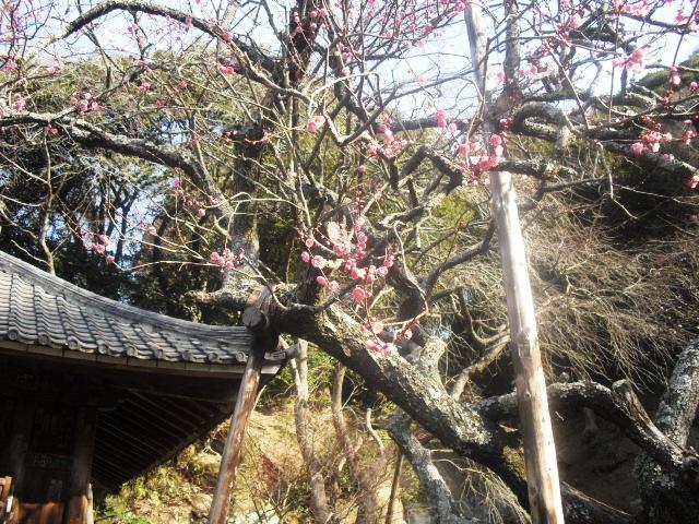 F11) 鎌倉「瑞泉寺」梅の頃」