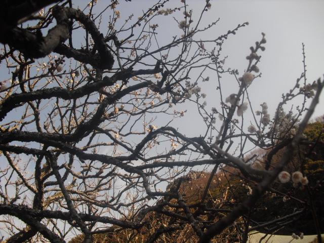 F15) 鎌倉「瑞泉寺」梅の頃」