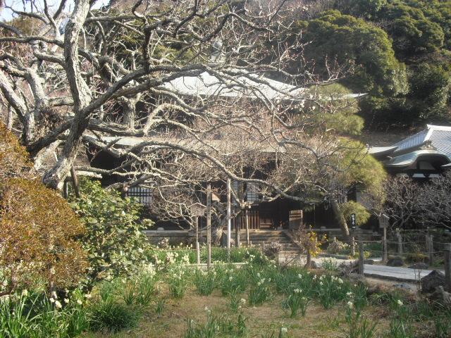 F20) 鎌倉「瑞泉寺」梅の頃」
