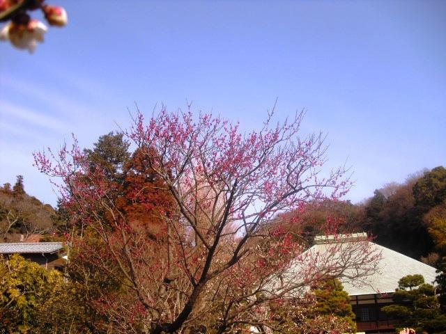 I04) 鎌倉五山第五位「浄妙寺」梅の頃