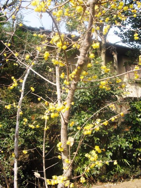 I11) 鎌倉五山第五位「浄妙寺」梅の頃