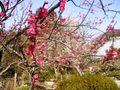I05) 鎌倉五山第五位「浄妙寺」梅の頃