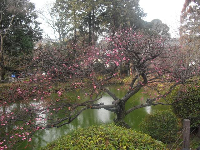 03) 円覚寺参道「白鷺池(びゃくろち)」の梅。