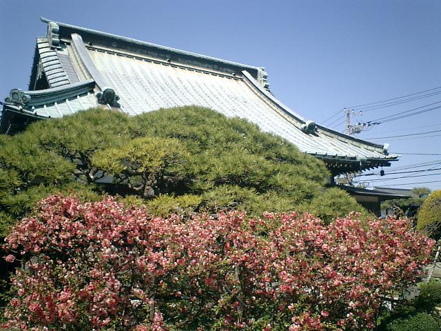05) 開花の盛りを過ぎた、木瓜の花_鎌倉市材木座「九品寺」