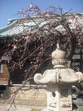 04) 「九品寺」の梅