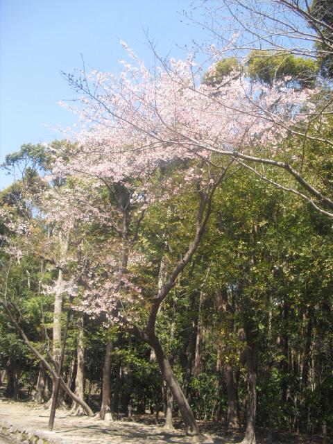 04) ' 流鏑馬道 ' の桜