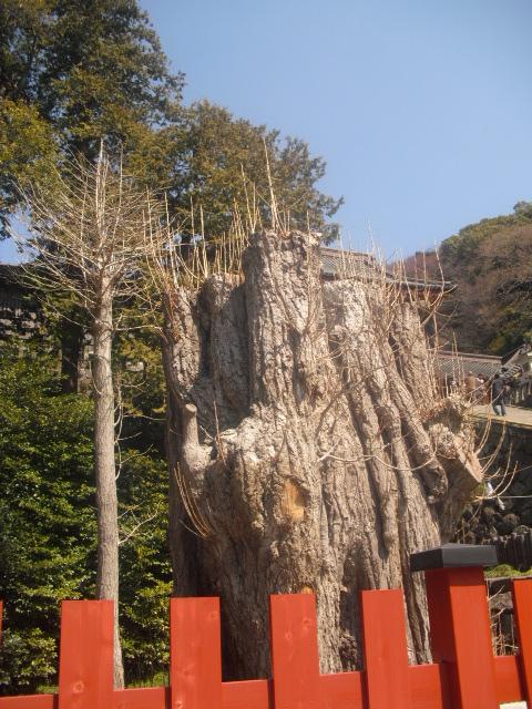 08) 倒壊してから切断され植えられた、大銀杏の幹。」