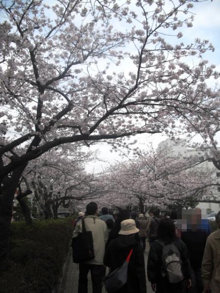 """05) 鎌倉「鶴岡八幡宮」参道 """" 段葛 """" の桜"""