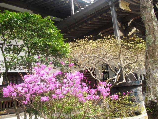 05) ツツジ _  謹んで参拝祈願いたしました。鎌倉「妙本寺」桜満開の頃。_  11.04.10