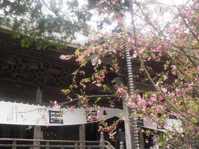 11)  謹んで参拝祈願いたしました。鎌倉「妙本寺」桜満開の頃。_  11.04.10