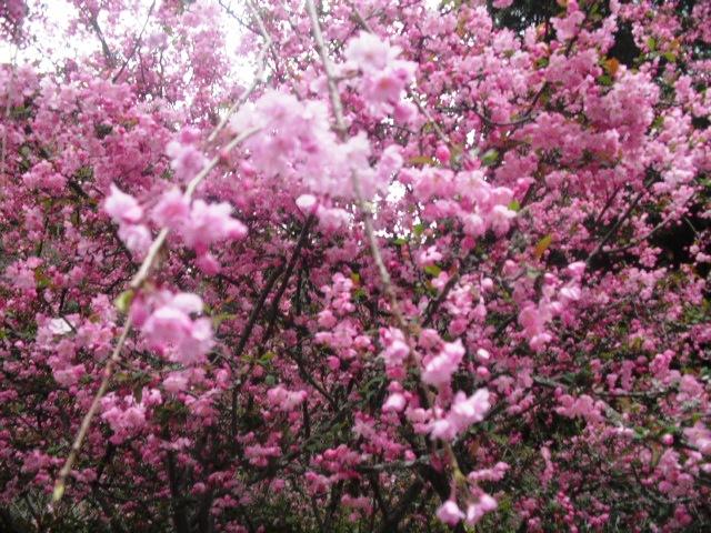 13)  謹んで参拝祈願いたしました。鎌倉「妙本寺」桜満開の頃。_  11.04.10
