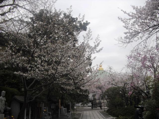 04) 境内の桜 _ 「長勝寺」
