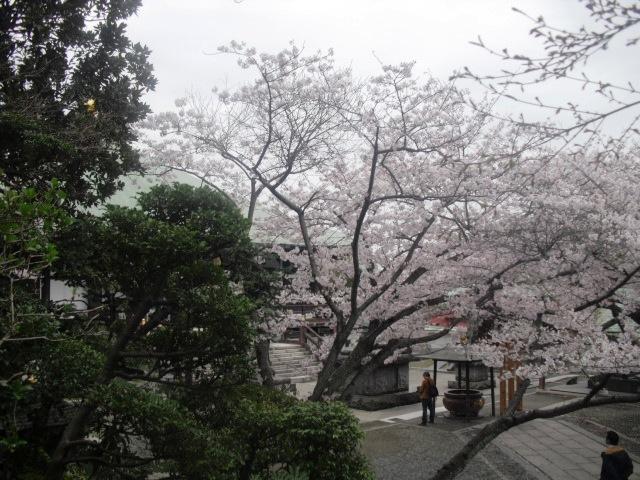 07) 境内の桜 _ 「長勝寺」