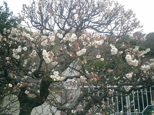 05) 鎌倉「英勝寺」_通用門外の梅