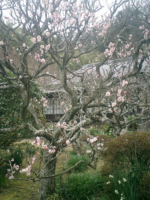 43) 鎌倉「英勝寺」_書院前庭、桃色の梅。