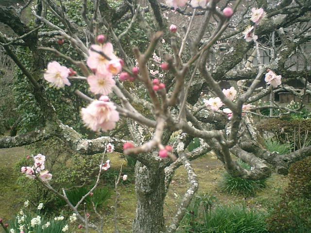 44) 鎌倉「英勝寺」_書院前庭、桃色の梅。