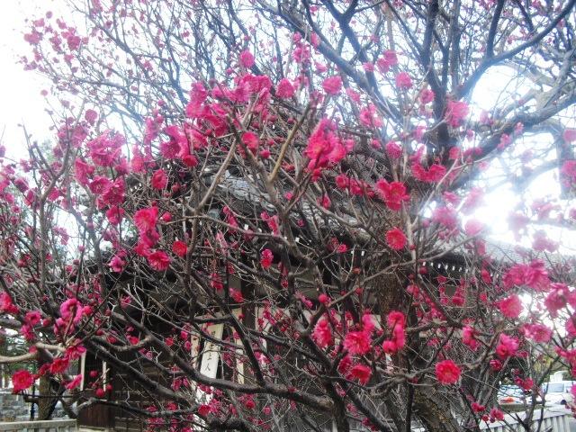B05) 鎌倉「本覚寺」梅の頃