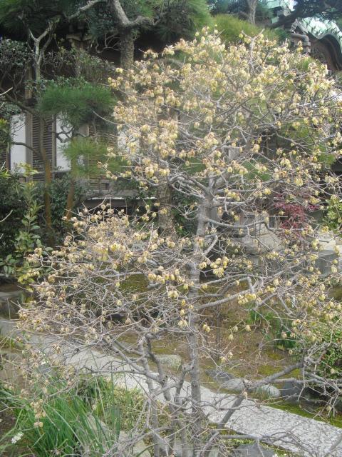 C07) 鎌倉「大巧寺」黄梅が咲く頃