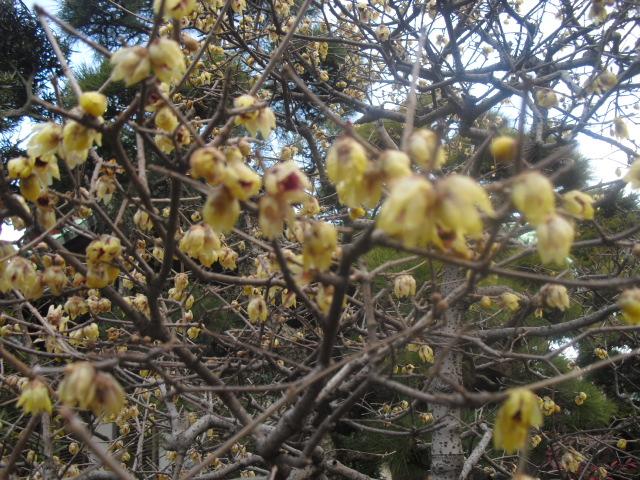 C08) 鎌倉「大巧寺」黄梅が咲く頃