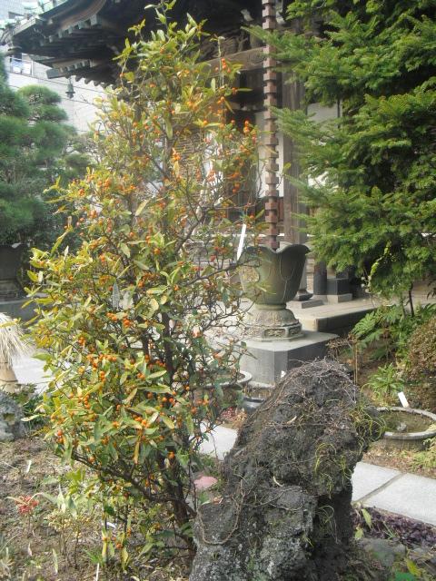 C11) 鎌倉「大巧寺」黄梅が咲く頃