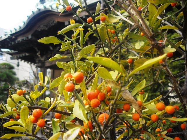 C13) 鎌倉「大巧寺」黄梅が咲く頃