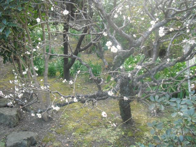 C20) 鎌倉「大巧寺」黄梅が咲く頃