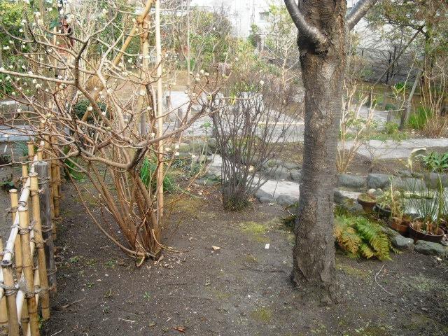 C21) 鎌倉「大巧寺」黄梅が咲く頃